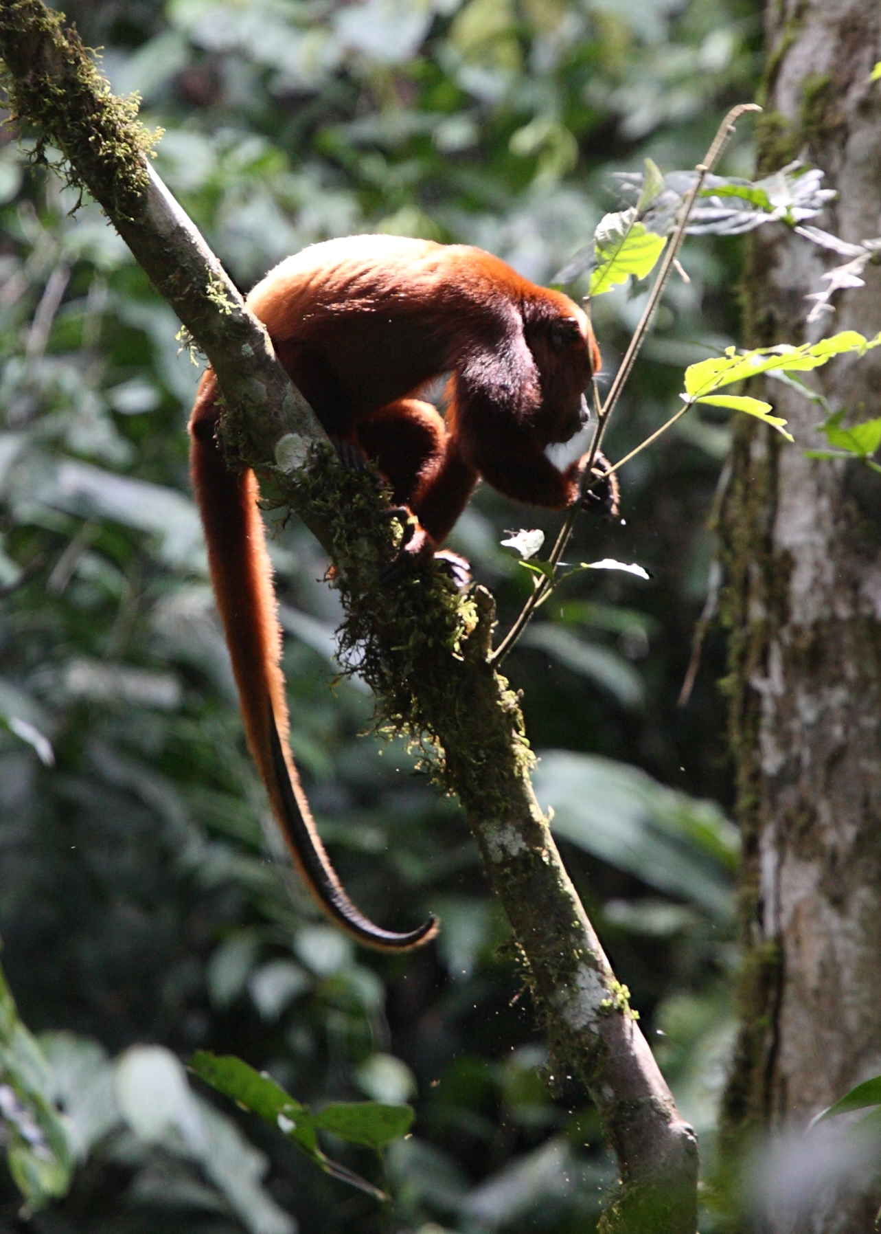 Red howler monkey (coto rojo)