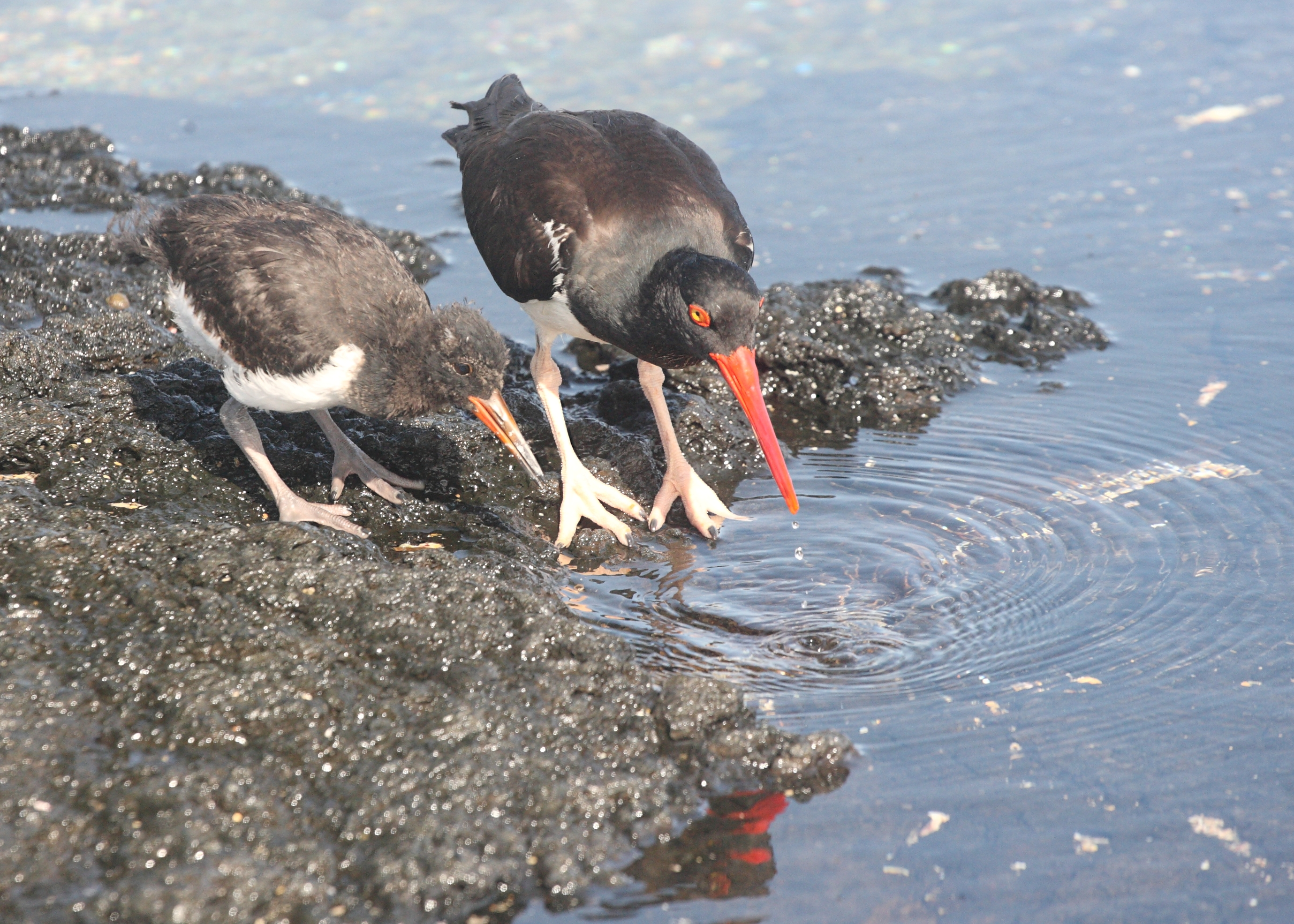 American oyster catcher