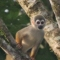 Squirrel monkey (mono titi)
